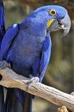 Close up do macaw do Hyacinth Fotos de Stock