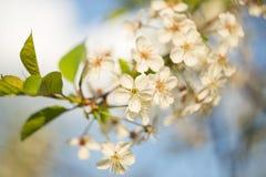 Close up do macro do ramo de árvore da cereja da flor da mola Imagens de Stock