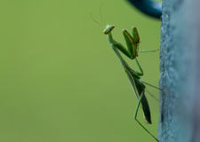 Close up do Mantis Praying Fotografia de Stock