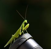 Close-up do Mantis Praying Fotos de Stock