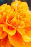 Close up do Marigold Fotos de Stock Royalty Free