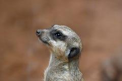 Close-up do meerkat Imagens de Stock