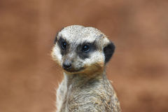 Close-up do meerkat Fotos de Stock Royalty Free