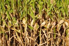 Close up do milho de campo com as orelhas de milho amarelas Imagem de Stock
