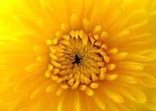 Close up do mum amarelo Imagem de Stock Royalty Free