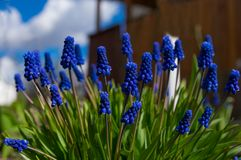Close-up do Muscari, flores azuis, roxas Plantas bulbosas constantes fotografia de stock royalty free