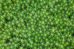 Close-up do musgo comum do haircap Imagens de Stock
