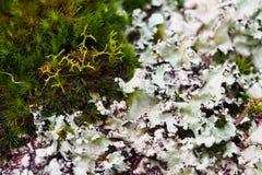 Close-up do musgo e do líquene Fotografia de Stock