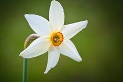 Close-up do narciso amarelo Imagem de Stock Royalty Free