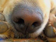 Close up do nariz de cão Foto de Stock Royalty Free