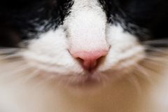 Close up do nariz do gato Imagem de Stock