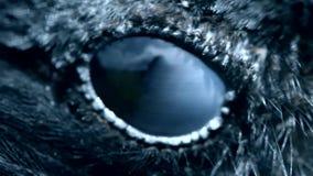 Close-up do olho do corvo, macro, olho do corvo encapu?ado toned filme