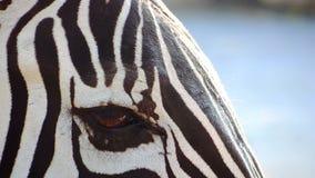 Close-up do olho da zebra video estoque