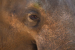 Close up do olho do elefante Fotos de Stock Royalty Free