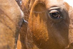 Close up do olho dos cavalos Imagem de Stock Royalty Free
