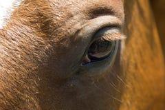 Close up do olho dos cavalos Fotos de Stock Royalty Free