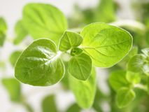 Close-up do Oregano Imagem de Stock