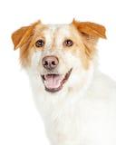 Close up do pastor e da beira felizes Collie Dog fotografia de stock