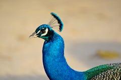 Close-up do pavão Fotografia de Stock