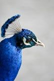 Close-up do pavão Fotos de Stock
