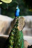 Close-up do pavão Fotos de Stock Royalty Free