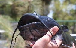Close-up do peixe-gato Imagens de Stock Royalty Free