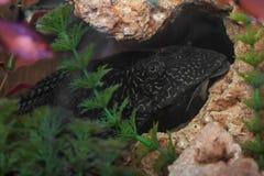 Close up do peixe-gato do aquário Fotos de Stock Royalty Free