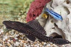 Close up do peixe-gato do aquário Foto de Stock