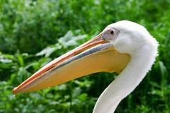 Close up do pelicano fotografia de stock