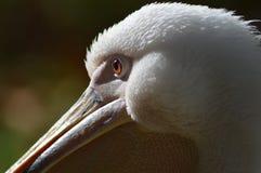 Close up do pelicano Imagens de Stock Royalty Free