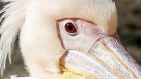 Close up do pelicano do pássaro Fotografia de Stock Royalty Free