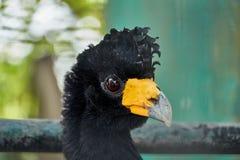 Close up do perfil principal do grande pássaro de Curassow fotos de stock royalty free
