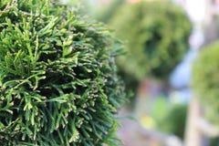 Close up do pinheiro na primavera foto de stock royalty free