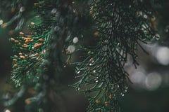 Close up do pinheiro foto de stock royalty free