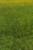Close up do prado do dente-de-leão Fotografia de Stock Royalty Free
