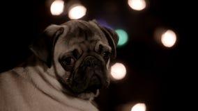Close up do pug infeliz da câmera filme