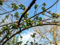 Close-up do ramo da flor do abricó Tempo da mola, céu ensolarado, árvores de florescência na vila Fotos de Stock