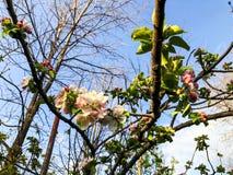 Close-up do ramo da flor do abricó Tempo da mola, céu ensolarado, árvores de florescência na vila Fotografia de Stock Royalty Free