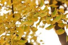 Close up do ramo de árvore da nogueira-do-Japão com folhas amarelas imagem de stock