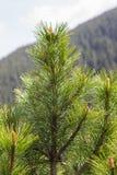 Close-up do ramo de árvore em um fundo das montanhas Fotos de Stock Royalty Free