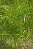 Close-up do ramo de pinheiro Imagens de Stock Royalty Free