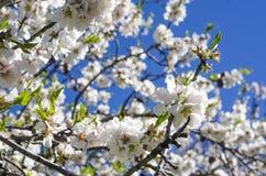 Close up do ramo de uma árvore de amêndoa na flor completa Fotografia de Stock Royalty Free