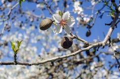 Close up do ramo de uma árvore de amêndoa na flor completa e nas porcas Fotos de Stock Royalty Free