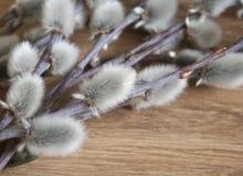 Close-up do ramo do salgueiro de bichano no fundo de madeira da cor média, vista superior, humor da mola, espaço vazio Imagem de Stock