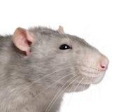Close-up do rato azul imagem de stock royalty free