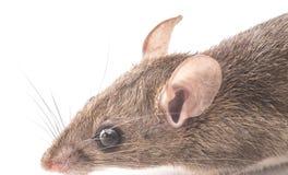 Close up do rato da casa foto de stock royalty free