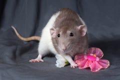 Close-up do rato em um fundo escuro imagens de stock
