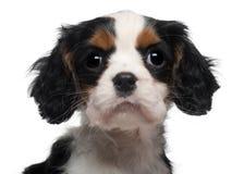 Close-up do rei descuidado Charles Filhote de cachorro Imagens de Stock Royalty Free