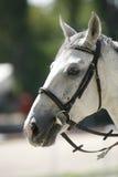 Close up do retrato da cabeça de cavalo no treinamento de salto da mostra equestre Imagens de Stock Royalty Free