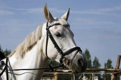 Close up do retrato de um cavalo de salto da mostra do puro-sangue Fotografia de Stock Royalty Free